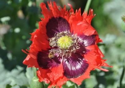 Honey bees on poppy